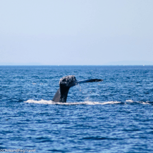 A Humpback Whale Tail just above the water
