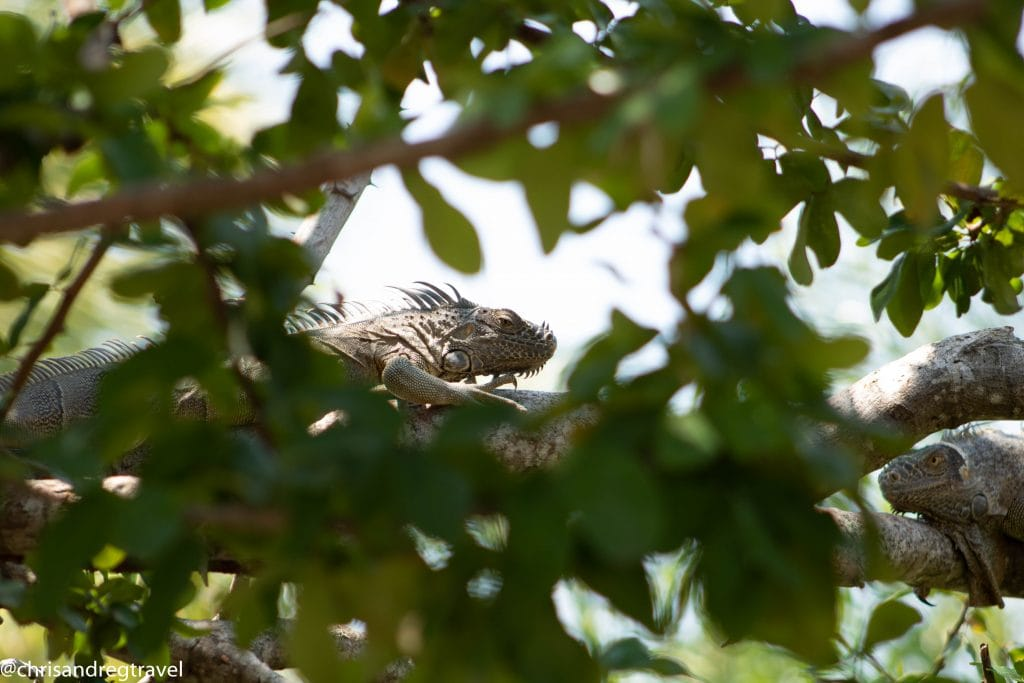 A pair of Iguanas call Placencia Belize their home